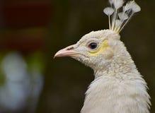Птица павлина портрета белая элегантная Стоковое Фото