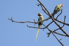 Птица: Пары длиннохвостого попугая Розы окружённого садить на насест на ветви дерева Стоковые Изображения RF