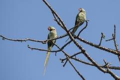 Птица: Пары длиннохвостого попугая Розы окружённого садить на насест на ветви дерева Стоковые Изображения