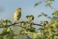 Птица певчей птицы вербы, trochilus Phylloscopus, поя Стоковое Изображение RF