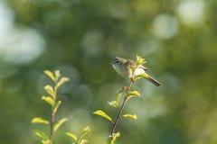 Птица певчей птицы вербы, trochilus Phylloscopus Стоковые Фото
