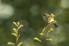 Птица певчей птицы вербы, trochilus Phylloscopus Стоковые Изображения RF