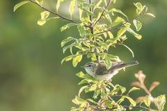 Птица певчей птицы вербы, trochilus Phylloscopus Стоковая Фотография