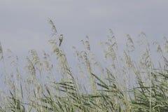 Птица певчей птицы на тростнике на озере Стоковая Фотография