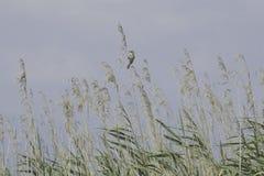 Птица певчей птицы на тростнике на озере Стоковое Изображение RF