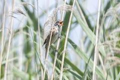 Птица певчей птицы на тростнике на озере Стоковое Изображение