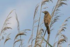 Птица певчей птицы на тростнике на озере Стоковая Фотография RF