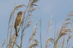 Птица певчей птицы на тростнике на озере Стоковое фото RF