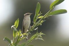 Птица певчей птицы осоки, schoenobaenus настоящей камышевки, поя Стоковое Изображение RF