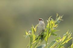 Птица певчей птицы осоки, schoenobaenus настоящей камышевки, поя Стоковое Изображение