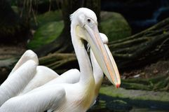 Птица пеликана в зоопарке Стоковые Фото