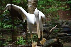 Птица пеликана в зоопарке Стоковое Фото