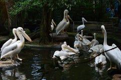 Птица пеликана в зоопарке Стоковая Фотография RF