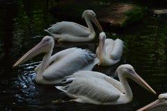 Птица пеликана в зоопарке Стоковое Изображение