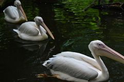 Птица пеликана в зоопарке Стоковые Изображения