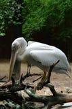 Птица пеликана в зоопарке Стоковые Изображения RF