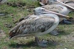 Птица пеликана в зоопарке Стоковая Фотография