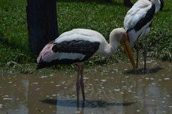 Птица пеликана в зоопарке Стоковые Фотографии RF