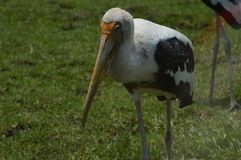 Птица пеликана в зоопарке Стоковое фото RF