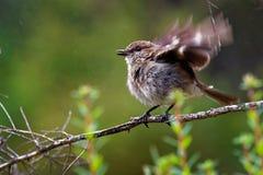 Птица песни Dusky vittata Робина - Melanodryas эндемичная от Тасмании, Австралии, в дожде Стоковые Фото