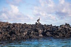 Птица пеликана садилась на насест на острове Santa Cruz в Галапагос Стоковые Фотографии RF