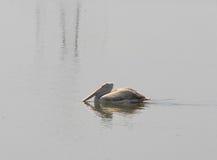 Птица пеликана Стоковые Изображения