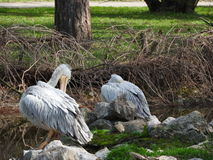 Птица пеликана Стоковые Фото