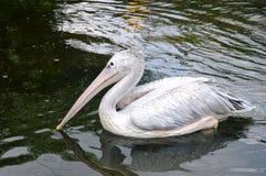 Птица пеликана Стоковое Изображение