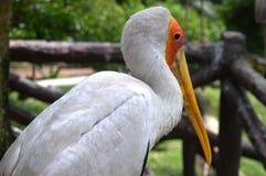 Птица пеликана Стоковая Фотография