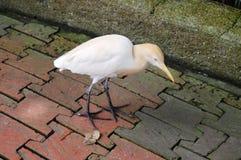 Птица пеликана Стоковое фото RF