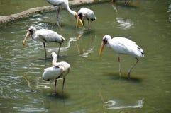 Птица пеликана Стоковое Изображение RF