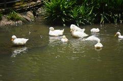 Птица пеликана Стоковые Изображения RF
