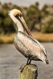 Птица пеликана Стоковые Фотографии RF