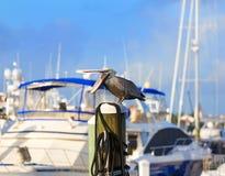 Птица пеликана Fort Lauderdale в Марине Флориде Стоковая Фотография