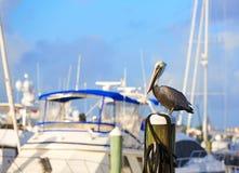 Птица пеликана Fort Lauderdale в Марине Флориде Стоковые Изображения RF