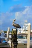 Птица пеликана Fort Lauderdale в Марине Флориде Стоковое Фото