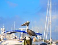 Птица пеликана Fort Lauderdale в Марине Флориде Стоковые Изображения