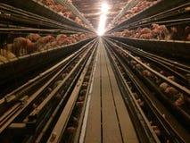 Птица поголовья сельского хозяйства клеток птиц цыплят Стоковое Изображение RF