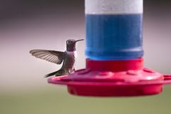птица подавая на нектаре Стоковая Фотография RF