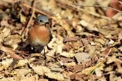 Птица положения Миссури Стоковое Изображение