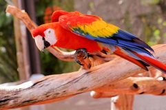 Птица попугая, ара шарлаха Стоковое Фото