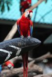 птица попугая ары в Таиланде Стоковые Фото