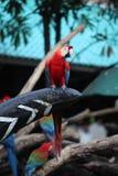 птица попугая ары в Таиланде Стоковое Изображение RF