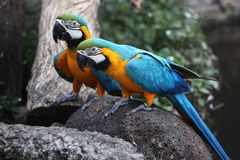 птица попугая ары в Таиланде Стоковое Изображение