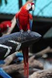 птица попугая ары в Таиланде Стоковая Фотография