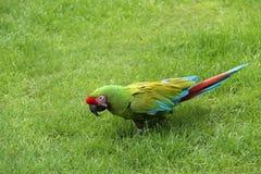 Птица попугая ары Стоковые Фото
