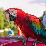 Птица попугая ары Стоковые Изображения RF