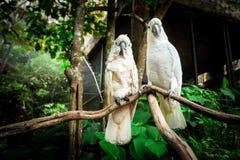 Птица попугая 2 белизн сопрягая на древесине ветви Стоковая Фотография RF