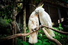 Птица попугая 2 белизн сопрягая на древесине ветви Стоковые Фотографии RF