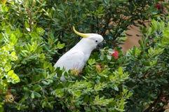 Птица попугая какаду на дереве banksia Стоковое Изображение RF